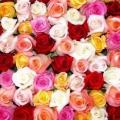 Троянди вирощування і догляд