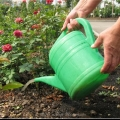 Добрива для троянд восени - чим удобрювати