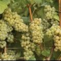 Виноград вирощування і догляд