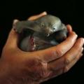 Бо, дитинча австралійської єхидни (4 фото)