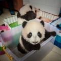 Як вирощують панд в провінції сичуань