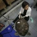 Ви не повірите, що витягли ветеринари з цієї черепахи!